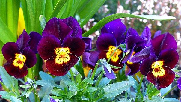 Pansy, Flower, Blossom, Bloom, Violaceae, Spring