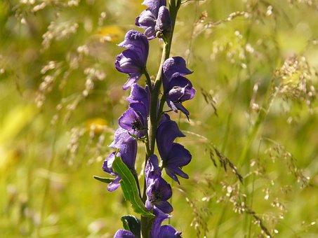 Monkshood, Blue, Dark Purple, Purple, Aconitum Napellus