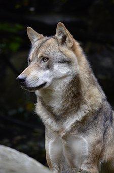 Wolf, Face, Fur, Close, Wild Animal, Predator, Canine