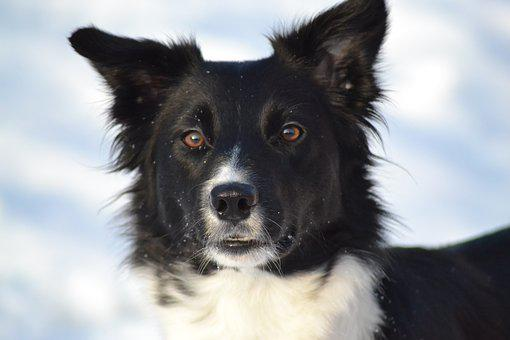 Dog, Border Collie, Winter Picture