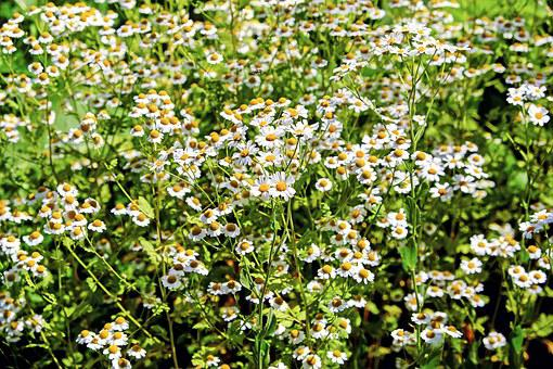 Chamomile, Ornamental Camomile, Flowers, Bloom, Nature