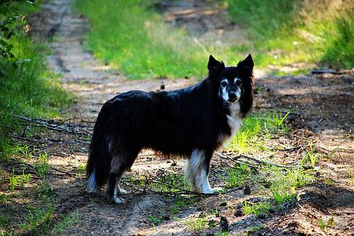 Dog, Border, Border Collie, Purebred Dog, Herding Dog