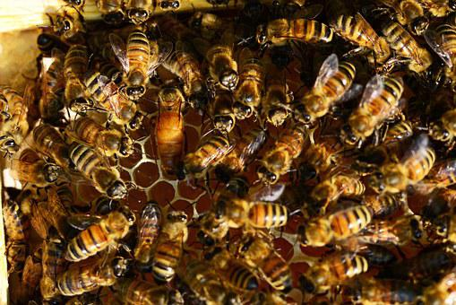 Honey Bees, Bee Hive, Honey Bee Queen, Hive, Laying Egg