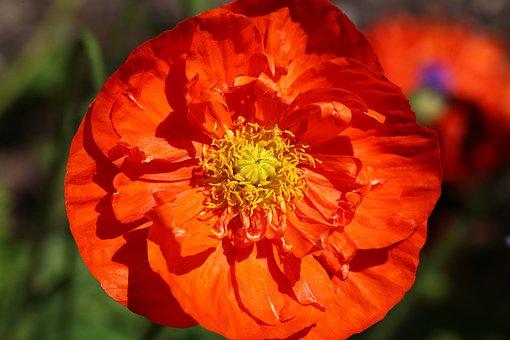 Flower, Orange, Poppy, Blossom, Bloom, Iceland Poppy