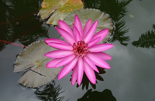 Lily, Water Lily, Red Water Lily, Lal Shapla, Lal Kamal