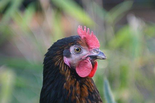 Hen, Laying Hens, Chicken, Hybrid Chicken, Chicken Head