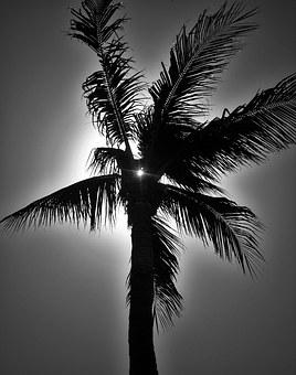 Palm In Black And White, Palm, Florida, Sun, Caribbean