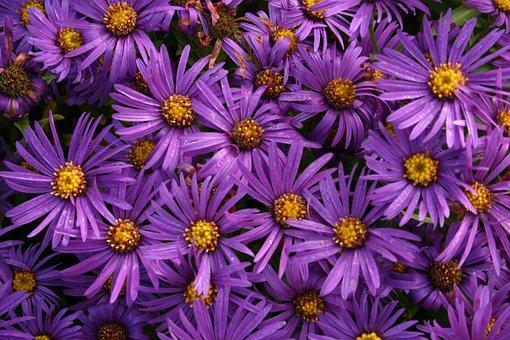 Asters, Flowers, Daisy, Flowering, Purple, Magenta