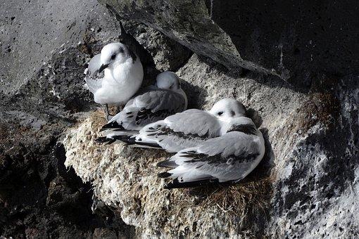 Seagull, Rock, Bird, Lay Eggs, Nest, Birds, Animal