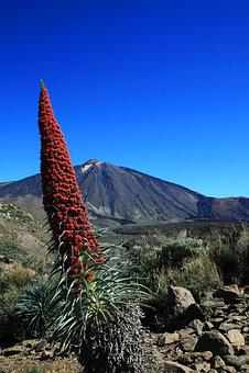 Tajinaste Rojo, Teide, Tenerife, National Park, Red