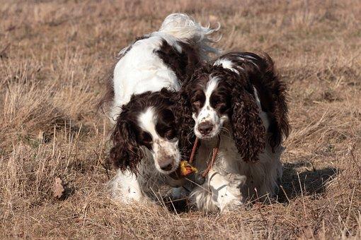 Dog, Mammal, Animal, Pet, English Springer Spaniel