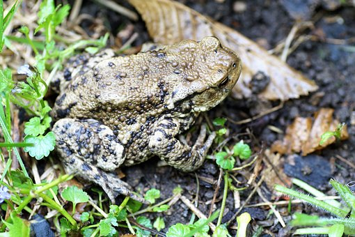 Toad, General, Bufo Bufo, Amphibian, Blisters, Spring