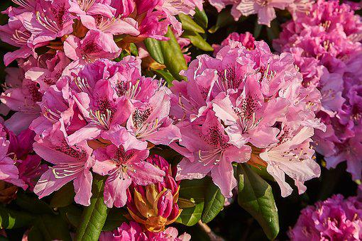 Rhododendron, Blossom, Bloom, Open, Pink, Garden, Bud