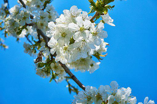 Cherry Blossom, Cherry, White, Fruit Tree, Blossom