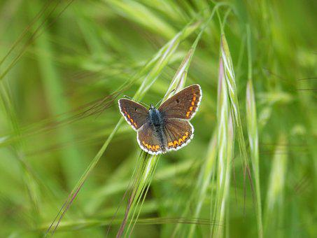 Butterfly, Brunette, Aricia Cramera, Mnorena Southern