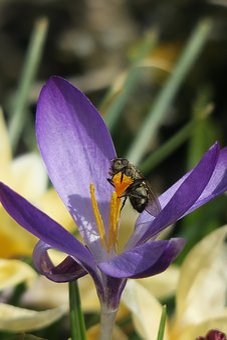 Crocus, Fly, Nature, Flower, Plant, Leaf