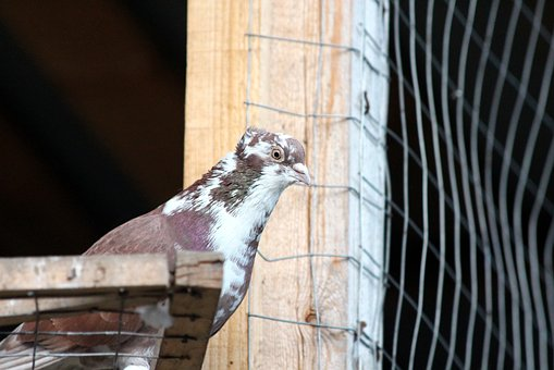 Dove, Feathered Race, Bird, Outdoors, Domestic Pigeon
