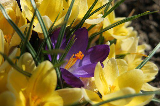 Crocus, Flower, Purple, Yellow, Nature, Plant, Easter