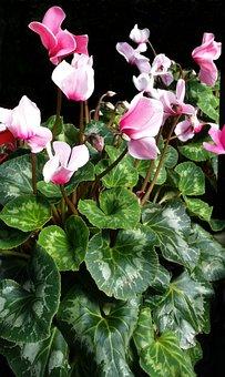 Cyclamen, Flora, Nature, Leaf, Flower, Garden