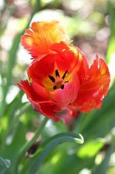 Tulip, Red, Nature, Flower, Plant