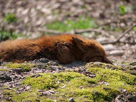 Fuchs, Concerns, Wild Animal, Forest Animal