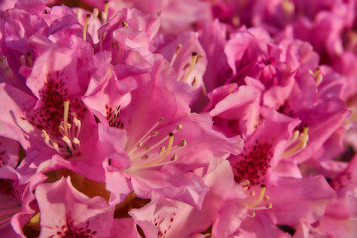Rhododendron, Blossom, Bloom, Close, Open, Pink, Garden