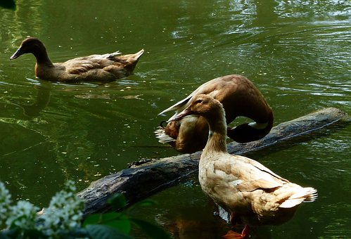 Duck, Bird, Body Of Water, Lake, Mare, River, Goose