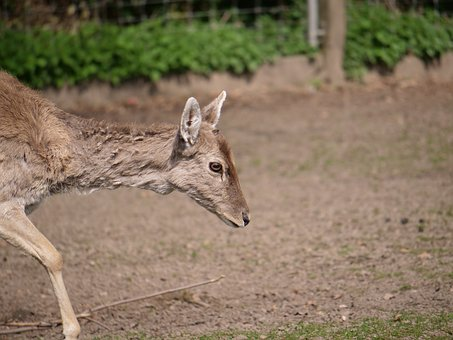 Hirsch, Roe Deer, Concerns, Sleep, Mammal, Animal World