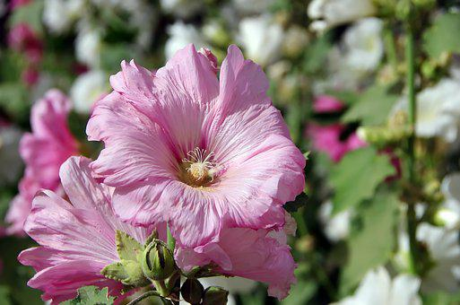 Althea, Hollyhock, Pink Flower, Mallow, Flower, Petals