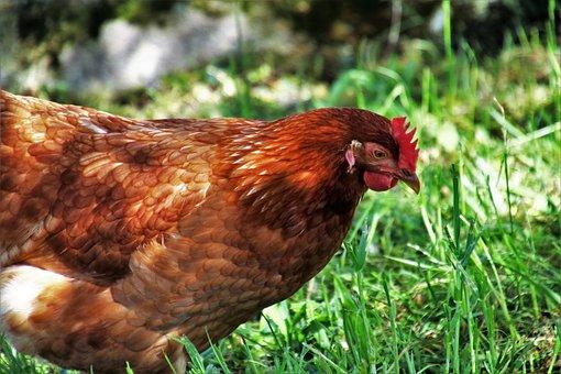 Birds, Nature, Poultry, Animals, Farm, Domestic Hen
