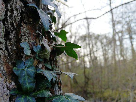 Tree, Nature, Wood, Outdoor, Leaf, Ivy