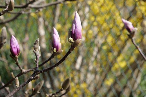 Flower, Nature, Plant, Tree, Magnolia, Magnolia Blossom