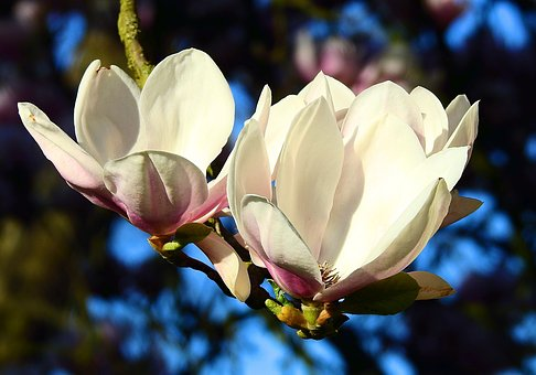 Flower, Magnolia, Plant, Nature