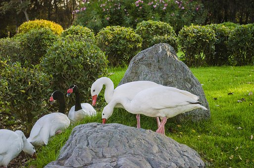 Nature, Lawn, Animalia, Open Air, Birds, Goose, Shrubs