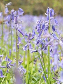 Nature, Flower, Flora, Summer, Outdoors, Bluebell