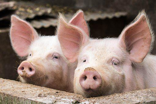 Animal, Piglet, Mammal, Nature, Livestock, Cute, Pork