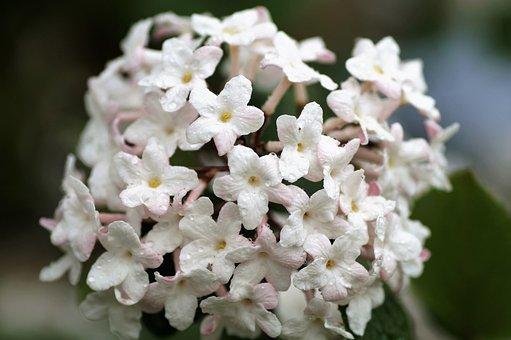Viburnum, Pink, Flowering, White, Sphere, Florets