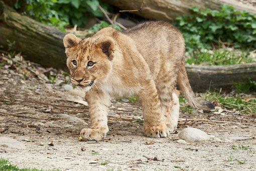 Lion, Young, Puppies, Run, Animal World, Animal, Cat