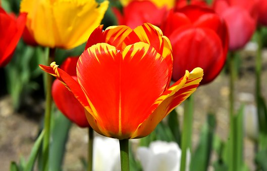 Tulips, Flowers, Colorful, Spring Flowers, Red, Yellow