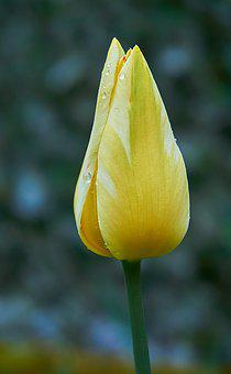 Tulip, Tulpenbluete, Bud, Spring Flower