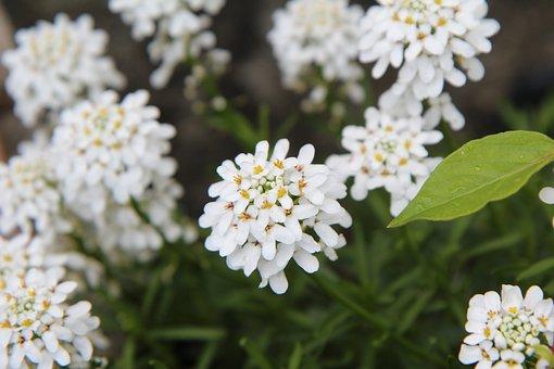 White Flowers, Spring, Thlaspi, Border, White Flower