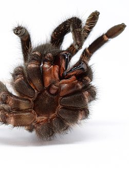 Skinning, Tarantula, Macro, Close, Spider Skin, Hairy