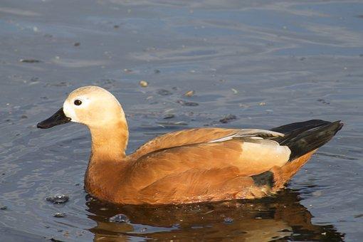 Bird, Duck, Wildlife, Water, Waterfowl, Ruddy Shelduck