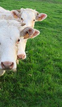 Lawn, Agro-industry, Livestock, Milk, Mammal, Animal