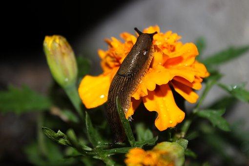 Slug, Flower, Marigolds, Nature, Animal, Orange, Wall