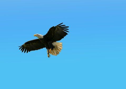 Bald Eagles, Bird, Animal World, Bird Of Prey, Flight