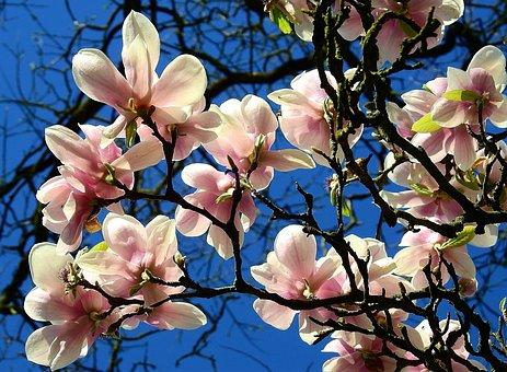 Flower, Branch, Tree, Plant, Magnolia