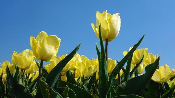 Tulips, Bulbs, Tulip, Spring, Bulb