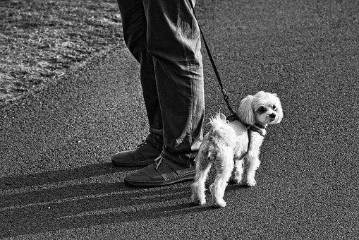 Little Dog, Dog, Canine, Animal, Mammal, White Doggy