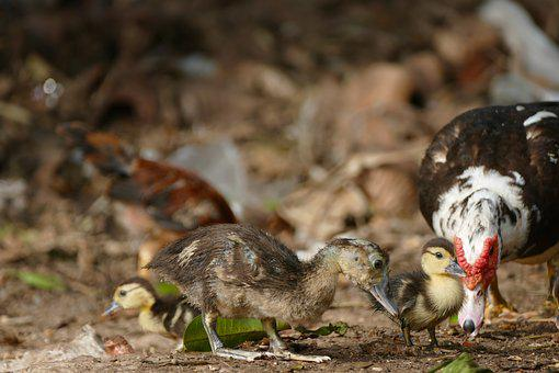 Bird, Animal World, Animal, Chicks, Water Bird, Duck